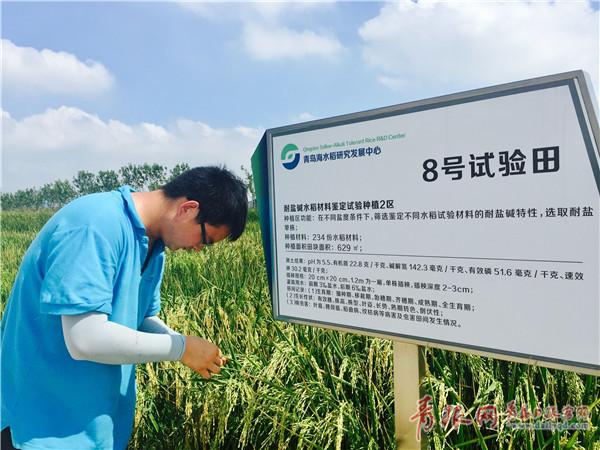 青岛首批海水稻9月可收获 端上餐桌还得再等等