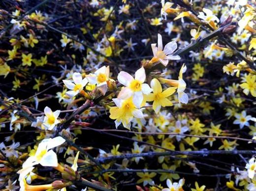 世纪公园迎春花绽放